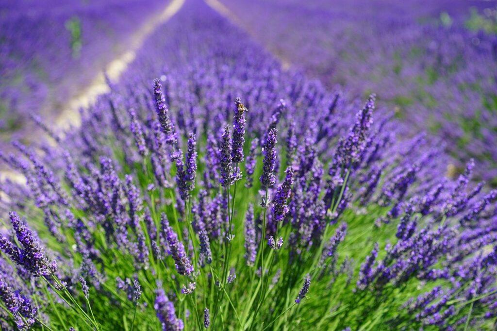 lavender-field-1595587_1280