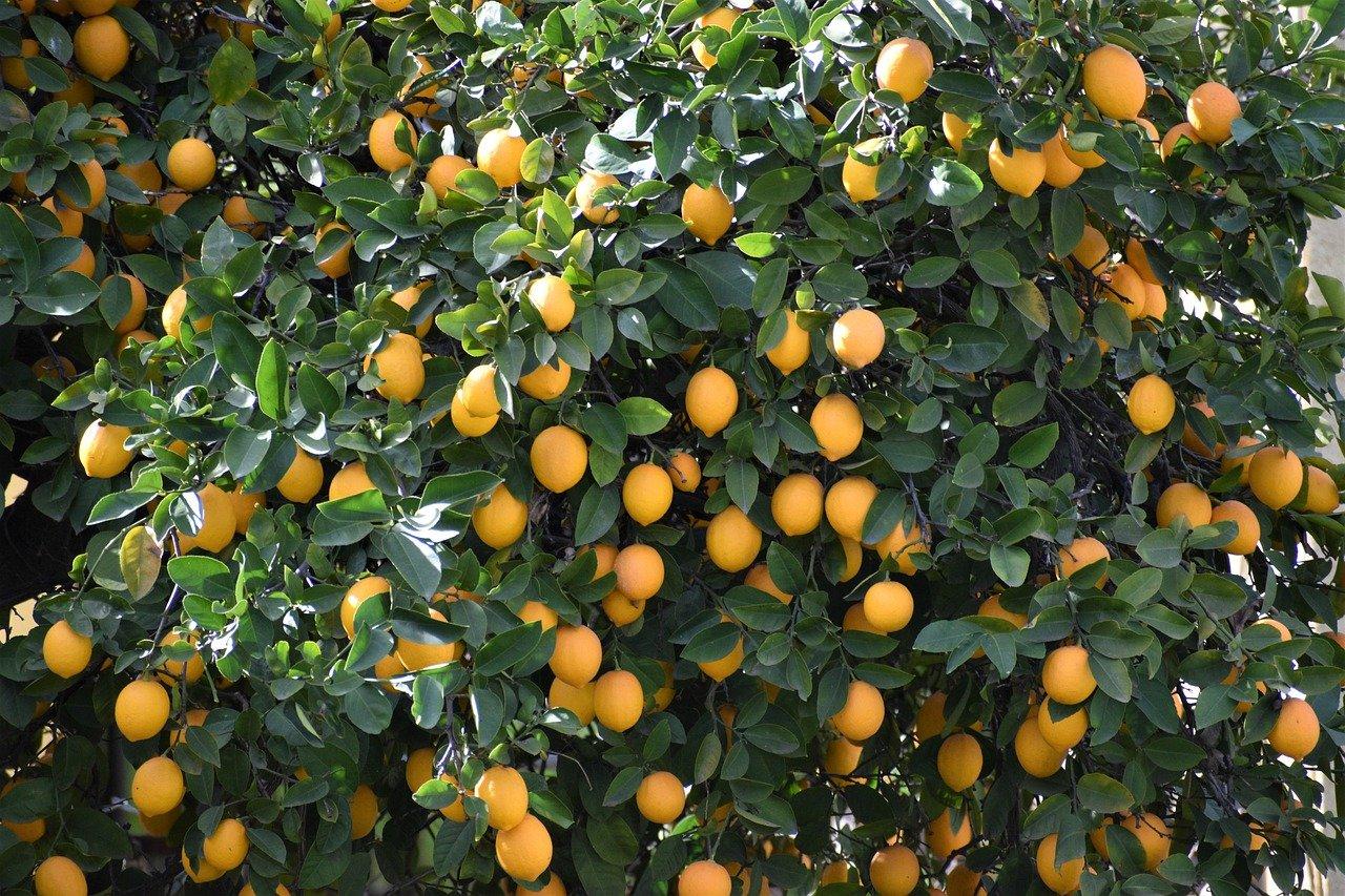 lemon-4982692_1280